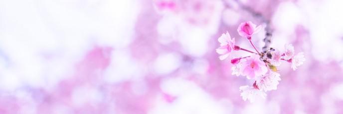 世の中に絶えて桜の無かりせば